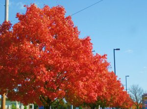 fall.leaves