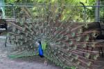 zoo.peacock