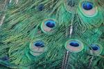 zoo.peacock2